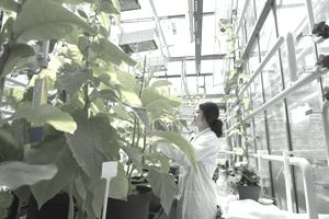 Scientist testing plant sample in greenhouse lab