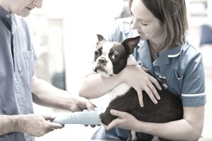 Veterinarians bandaging dog's leg in vet's surgery