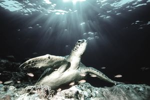 Green sea turtle (Chelonia mydas) on coral reef (Digital Composite)