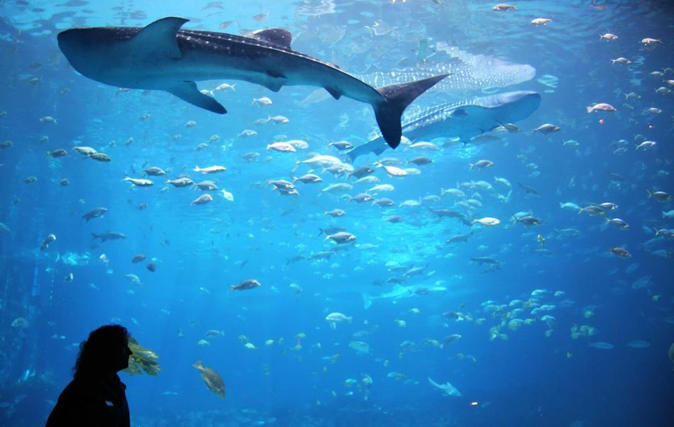 Aquarist studying a whale shark in giant aquarium tank