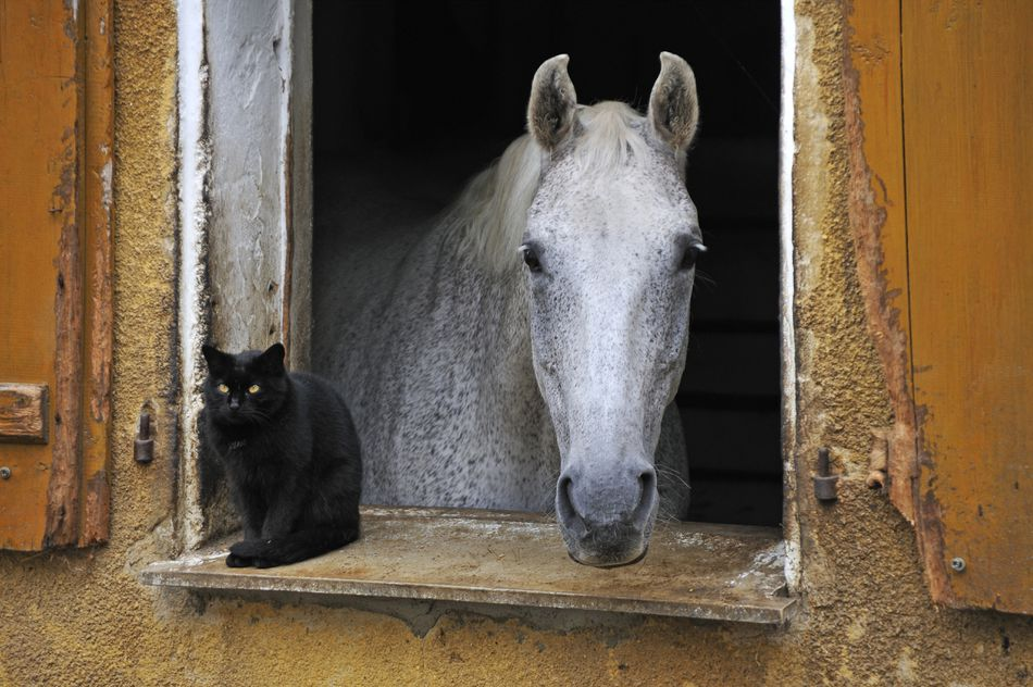 A dapple gray looking out a barn window, a black cat next to it.