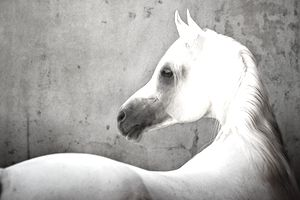 White Horse with black nose