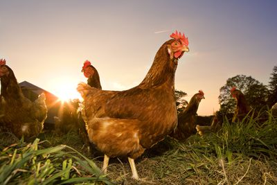 Careers With Animals: Poultry Farmer