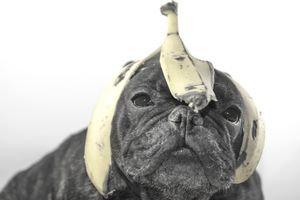 Bulldog with banana peel on his head