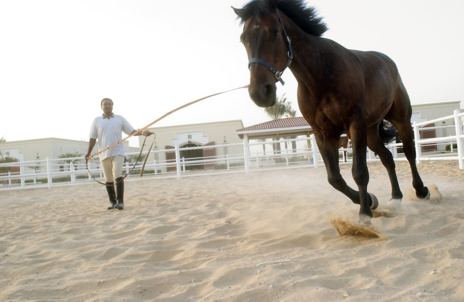 A horse being led by a trainer