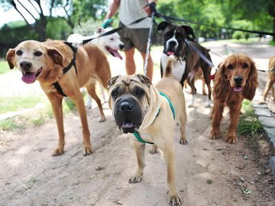A dog walker with six dogs