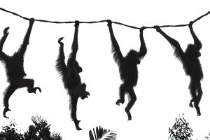 Silhouettes of orangutans swinging on a rope