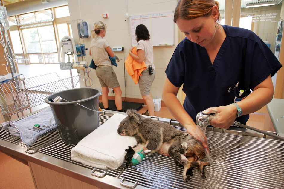 A zoo veterinary technician bathes an injured Koala in the medical clinic of a zoo.