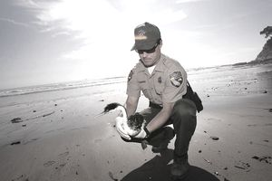 A fish and game warden treating an oil-drenched bird