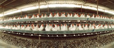 Rows of chickens on a poultry farm