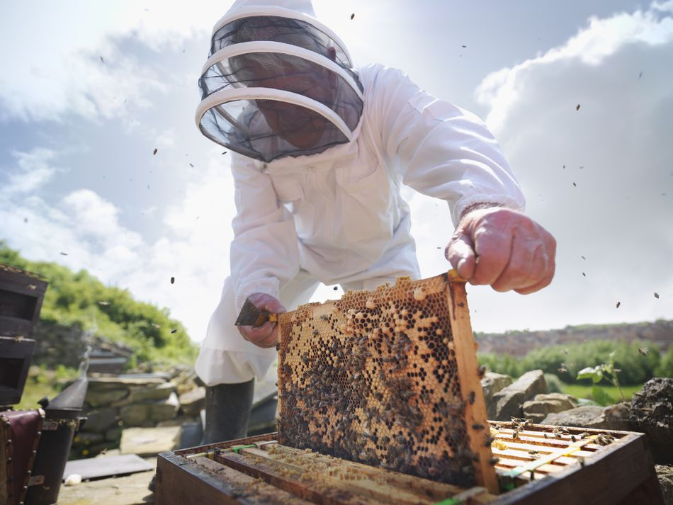 Beekeeper inspects a bee hive as bees fly around them