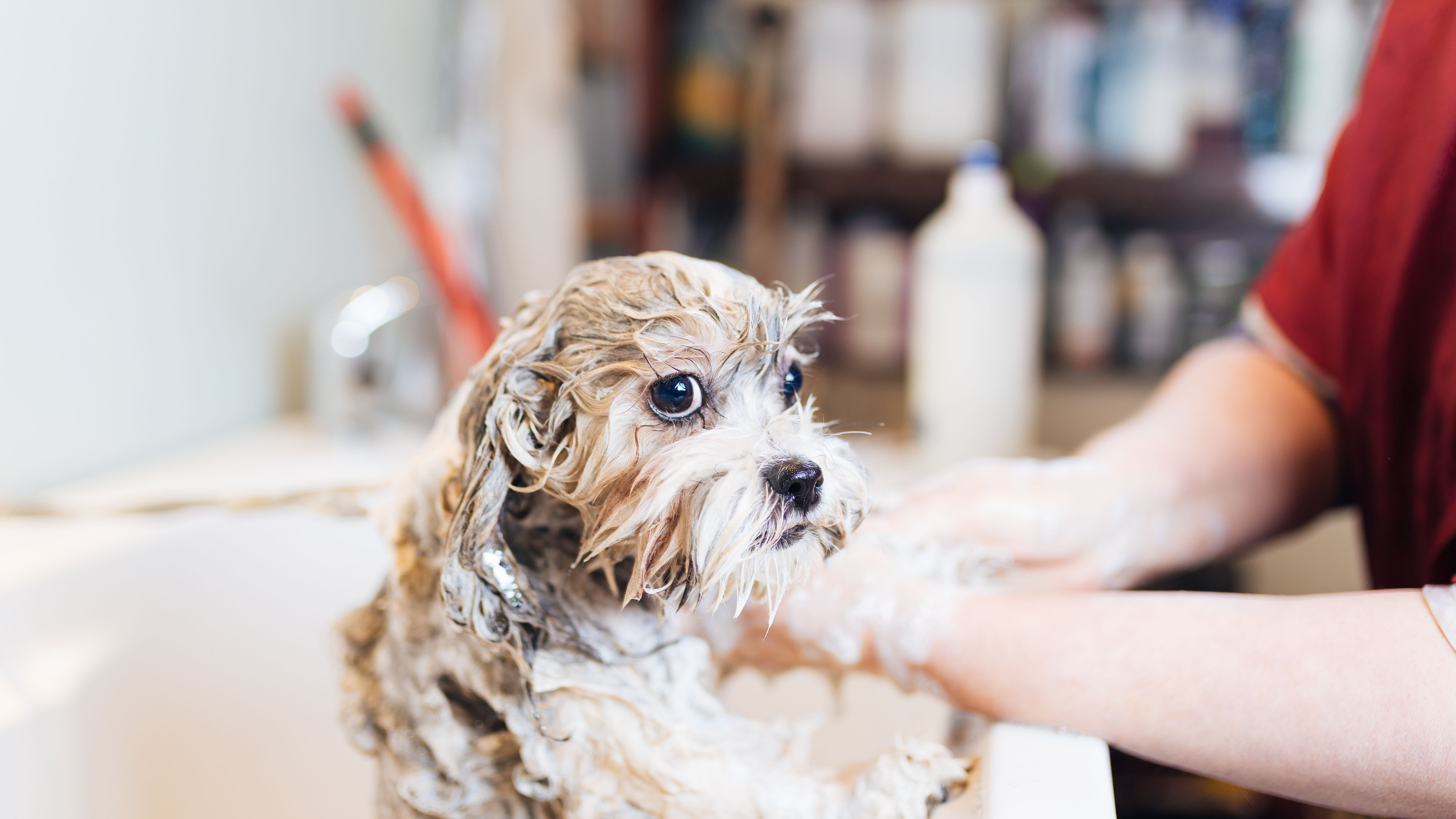 Groomer Tips For A Puppy S First Pet Grooming