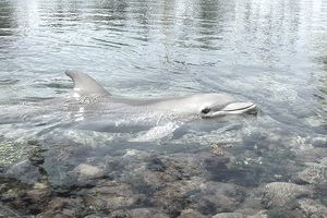 Dolphin in shallow waters