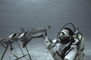 Marine biologist uses dye to test respiratory flow of nurse shark.