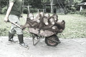 a wheelbarrow full of primates