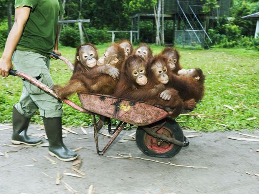 Wildlife vet pushing wheelbarrow full of orangutans.