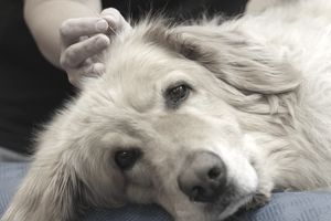 Dog receiving acupuncture.