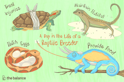 A day in the life of a reptile breeder: Treat injuries, Maintain habitat, Hatch eggs, Provide food