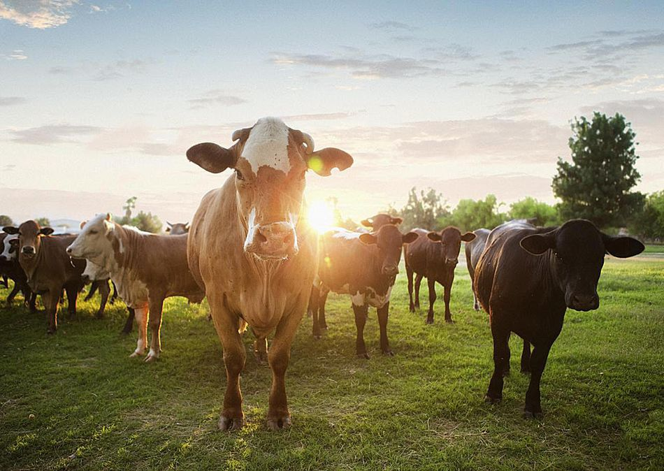 Cows in pasture at sunset