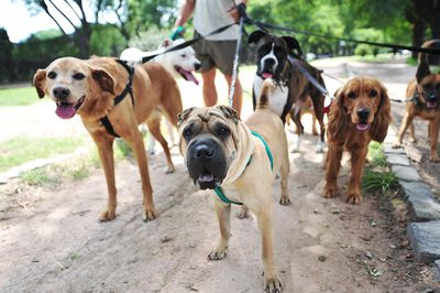 A dog walker in a Buenos Aires park holding the leads to six dogs.