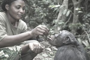 Zoologist with adult Bonobo (Pan paniscus) Sanctuary Lola Ya Bonobo Chimpanzee, Democratic Republic of the Congo