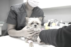 Veterinarians Examining Small Dog In Clinic Examination Room