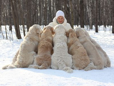 Woman training a pack of Golden Retrievers in the snow