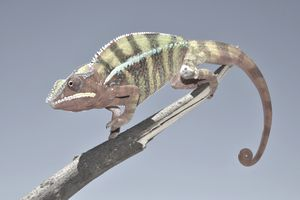 Chameleon on a tree branch representing the concept of dynamic creative in advertising.