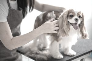 Certified dog groomer brushing a King Charles Spaniel.