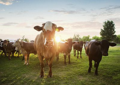 Beef Cattle Farming: Duties, Salary, and Career Outlook