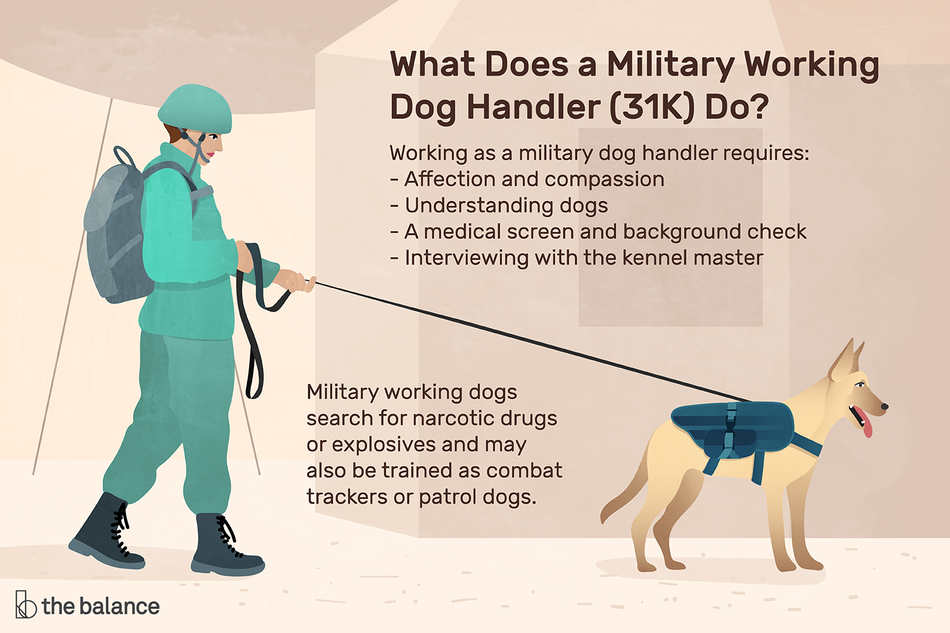 "Image shows a man in military uniform walking a dog in a military vest. Text reads: ""What does a military working dog handler (31K) do? Working as a military dog handler requires: Affection and compassion, understanding dogs, a medical screen and background check, interviewing with the kennel master. Military working dogs search for narcotic drugs or explosives and may also be trained as combat trackers or patrol dogs."