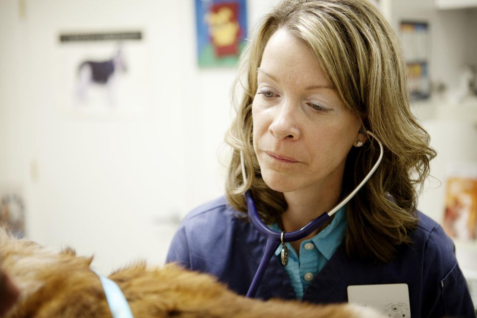A veterinarian using a stethoscope on a dog