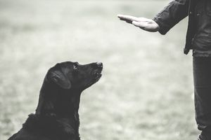 A dog trainer giving a hand command to Black Labrador dog.