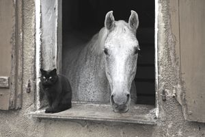 A dapple gray looking out a barn window, a black cat next to it, Middle Franconia, Bavaria, Germany, Europe