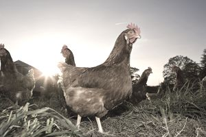 Chicken on farm