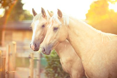 a pair of white horses