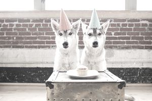 Portrait of two husky dogs in party hats with cupcake