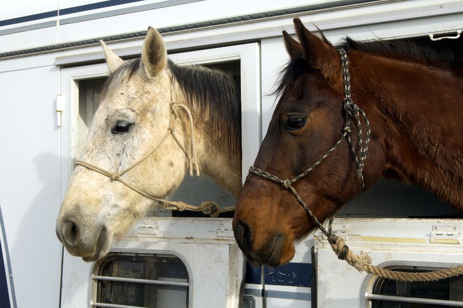 Horses with their heads out the opening of a transport trailer