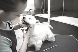 Certified dog groomer giving happy terrier a haircut.