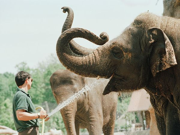 Zoo worker gives water to an elephant.