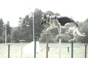 German Shepherdon on an agility training field