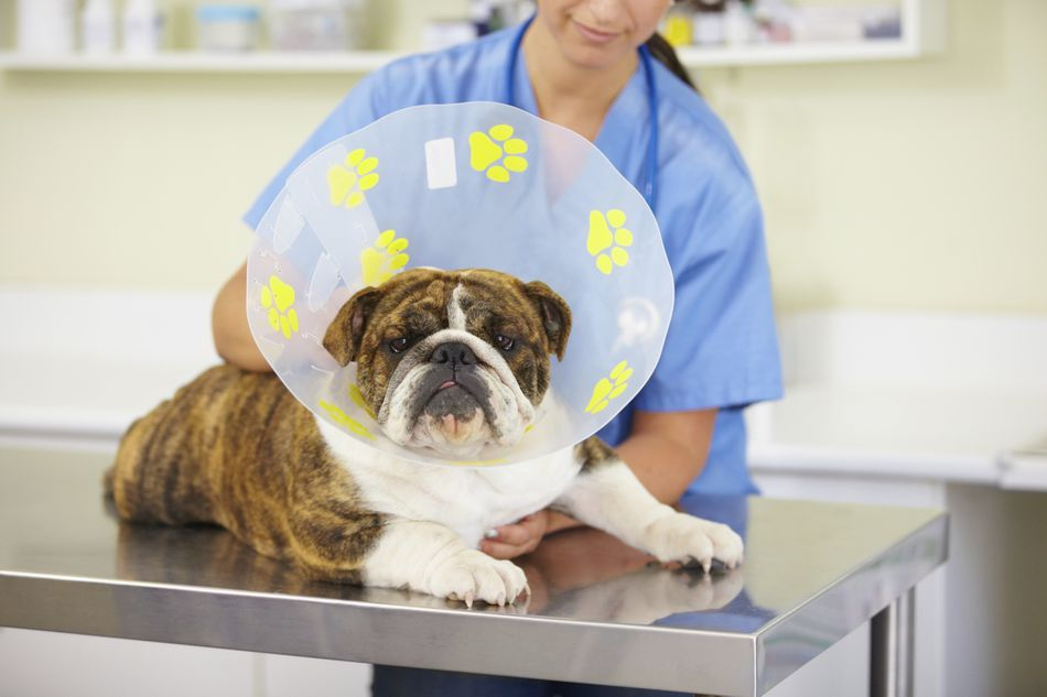 Veterinary technician with bulldog wearing a cone