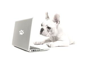French bulldog shopping online