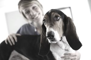 Basset hound with a vet