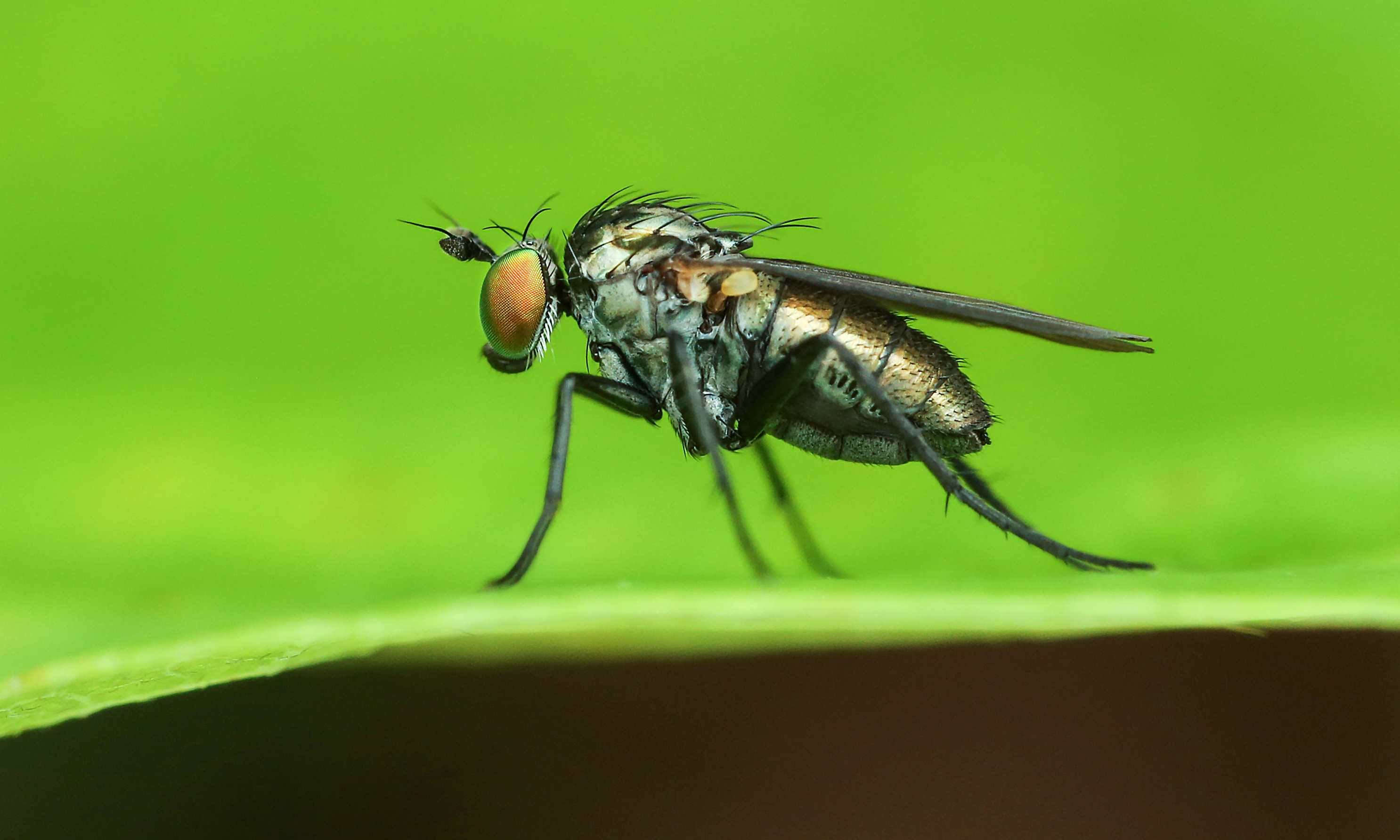 Close up of a fruit fly used by many forensic investigators to pinpoint time.