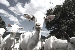a close up of goats eating grass