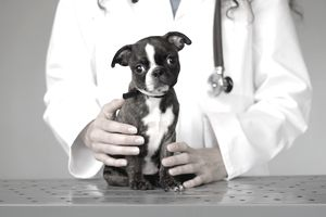 puppy with vet
