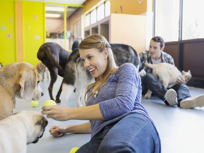 Pet daycare owner with tennis ball playing with dogs