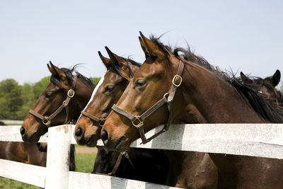 Thoroughbred Racehorses standing at a fence.