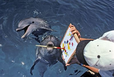 Bottlenose Dolphin paints with paintbrush, while dolphin trainer holds the artwork